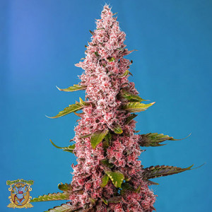 Red Hot Cookies Feminized Seeds (Sweet Seeds)