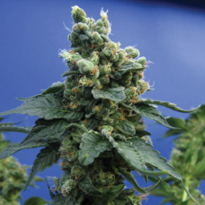 Sage n Sour Feminized Seeds (TH Seeds)