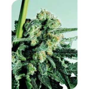 Sensi Skunk REGULAR Seeds (Sensi Seeds)
