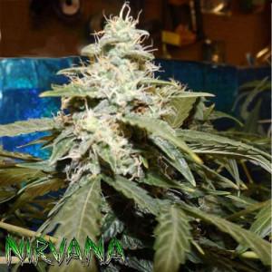 AUTO Short Rider FEMINIZED Seeds (Nirvana Seeds)