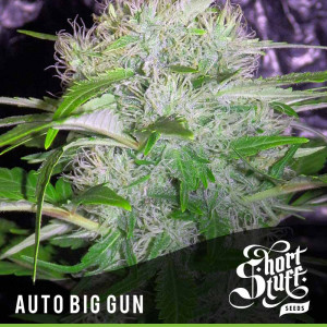 AUTO Big Gun FEMINIZED Seeds (Shortstuff Seeds)