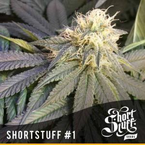 Shortstuff #1 AUTOFLOWERING REGULAR Seeds (Shortstuff Seeds)