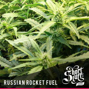 Russian Rocket Fuel AUTOFLOWERING FEMINIZED Seeds (Shortstuff Seeds)