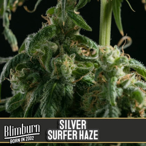 Silversurfer Haze Feminized Seeds (BlimBurn Seeds)