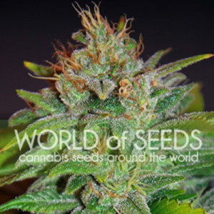 Skunk 47 Feminized Seeds (World of Seeds)