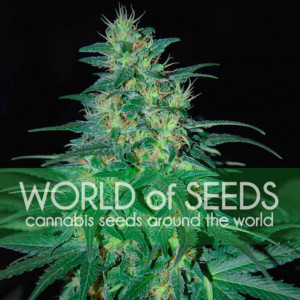 S. African Kwazulu Feminized Seeds (World of Seeds)