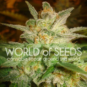 Star 47 Feminized Seeds (World of Seeds)