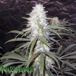 Sterling Haze FEMINIZED Seeds (Nirvana Seeds)