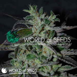 Strawberry Blue Early Harvest Feminized Seeds (World of Seeds)