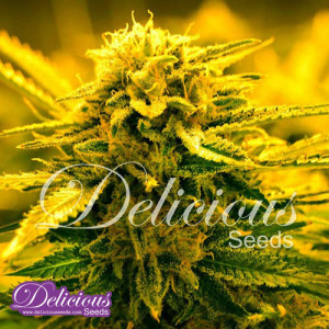 Sugar Black Rose AUTO FEMINIZED Seeds (Delicious Seeds)