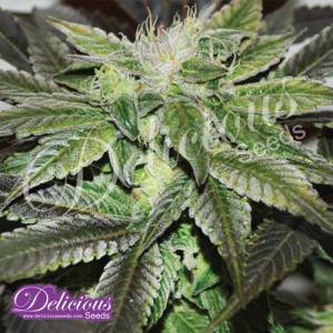 Sugar Candy FEMINIZED Seeds (Delicious Seeds)