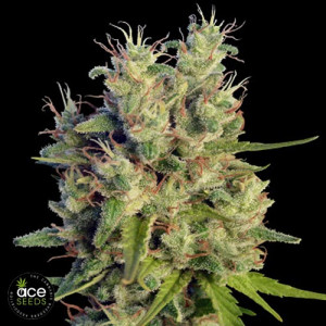 Super Malawi Haze Regular Seeds (Ace Seeds)