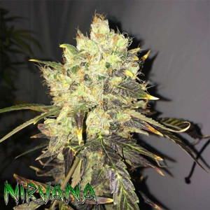 Supreme CBD Durban FEMINIZED Seeds (Nirvana Seeds)