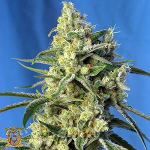 Sweet Amnesia Haze Feminized Seeds (Sweet Seeds)