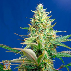 AUTO Sweet Pure CBD Feminized Seeds (Sweet Seeds)
