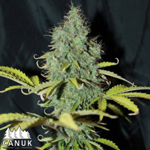 Sweet Tooth Auto Feminized Seeds (Canuk Seeds)