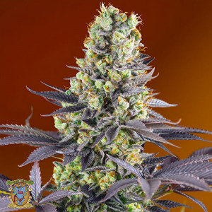 Sweet Zenzation Feminized Seeds (Sweet Seeds)