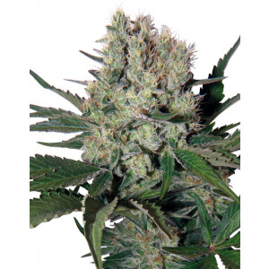 Syrup Auto Feminized Seeds (Buddha Seeds)