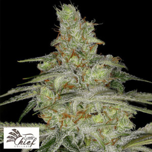 Tangie Ghost Train FEMINIZED Seeds (Little Chief Collabs)