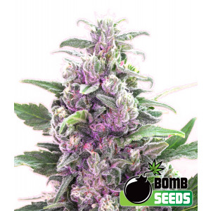 THC Bomb Regular Seeds (Bomb Seeds)