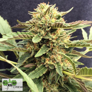 Therapy Feminized Seeds (CBD Crew)