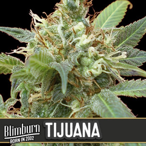 Tijuana Feminized Seeds (BlimBurn Seeds)