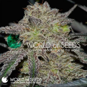 Tonic Ryder CBD Autoflowering Feminized Seeds (World of Seeds)