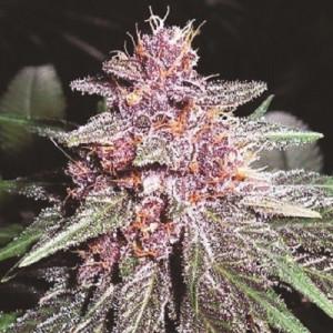 Violeta Feminized Seeds (Ace Seeds)