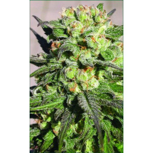 Warlock Feminized Seeds (Serious Seeds)