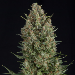 Wembley FEMINIZED Seeds (Pyramid Seeds)