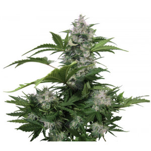 White Dwarf Auto Feminized Seeds (Buddha Seeds)