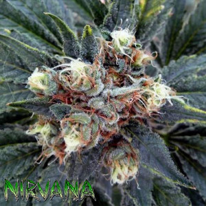 White Rhino REGULAR Seeds (Nirvana Seeds)