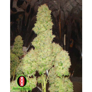 White Russian Feminized Seeds (Serious Seeds)