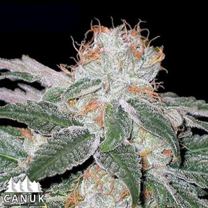 White Widow Auto Feminized Seeds (Canuk Seeds)