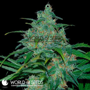 Wild Thailand REGULAR Seeds (World of Seeds)