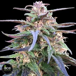 Zamal Bliss Feminized Seeds (Ace Seeds)