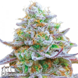 Zkittlez Glue Regular Seeds (Canuk Seeds)